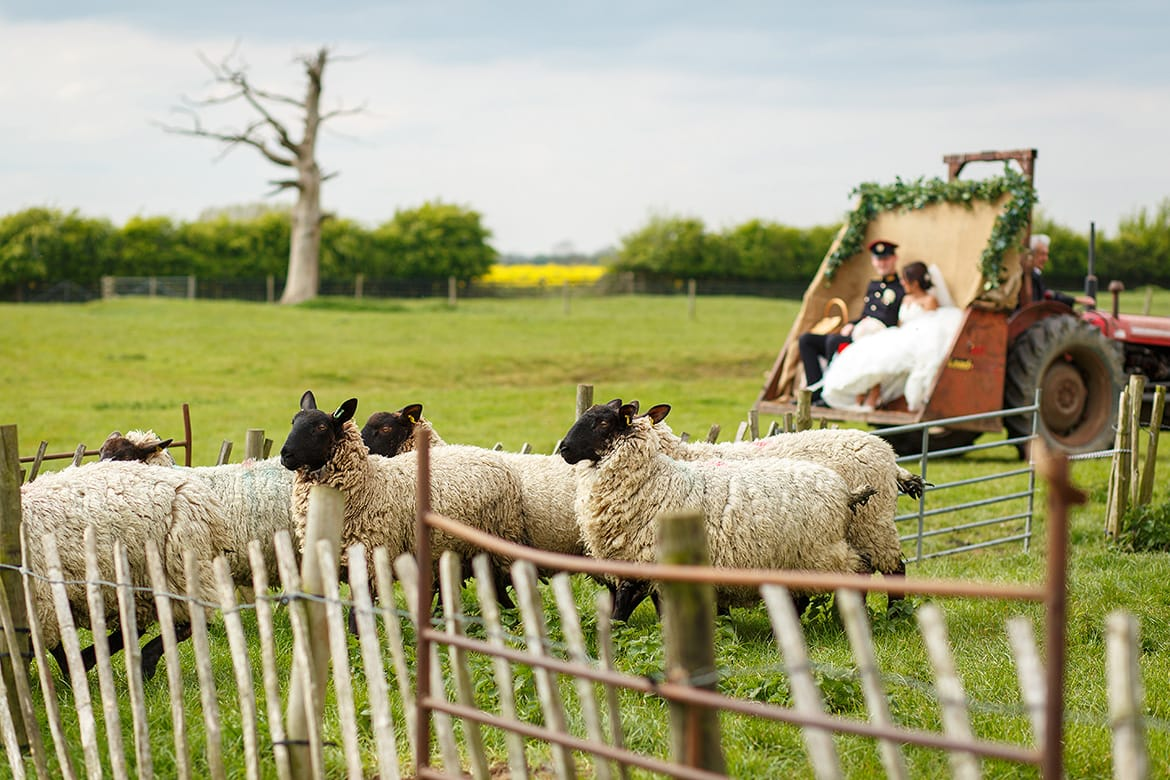 sheep run in front of the bride and groom