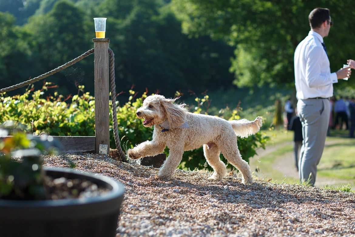 a labradoodle running at a wedding