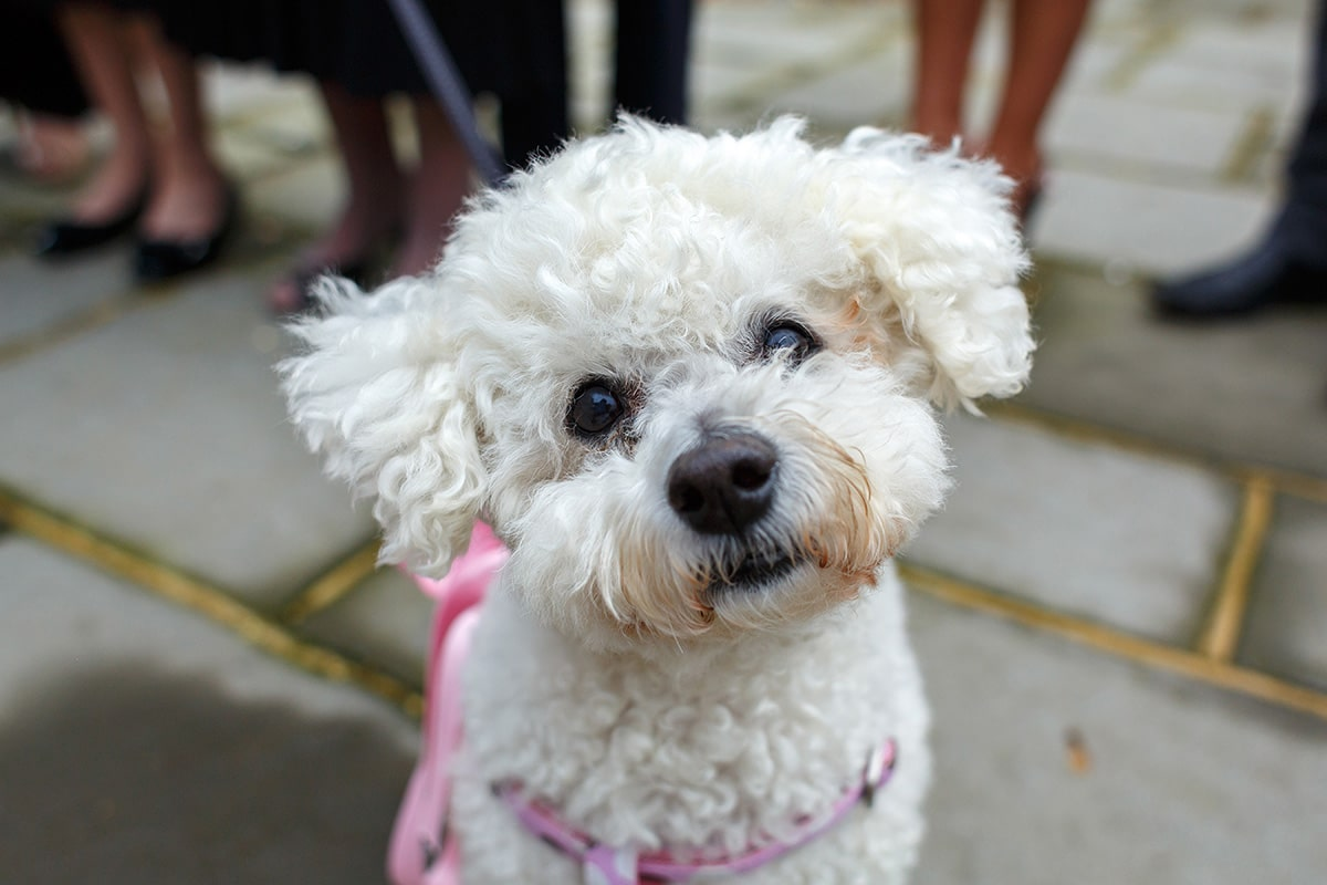 a close up of a bichon frise dog