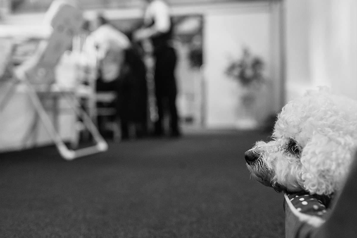 a bichon frise at a wedding